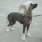 Chinese_Crested_Dog_600_textmedium